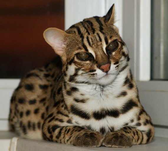 27 Facts About Bengals Royal Bengal Cattery Bengal Cats And Kittens