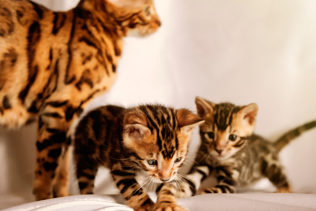Bengal Kittens and Cats - Royal Bengal Cattery - Bengal Cats