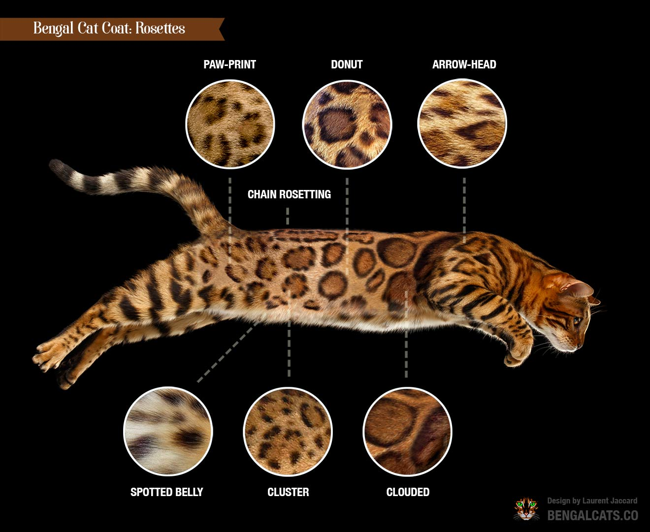 color bengal cat coat rosette types
