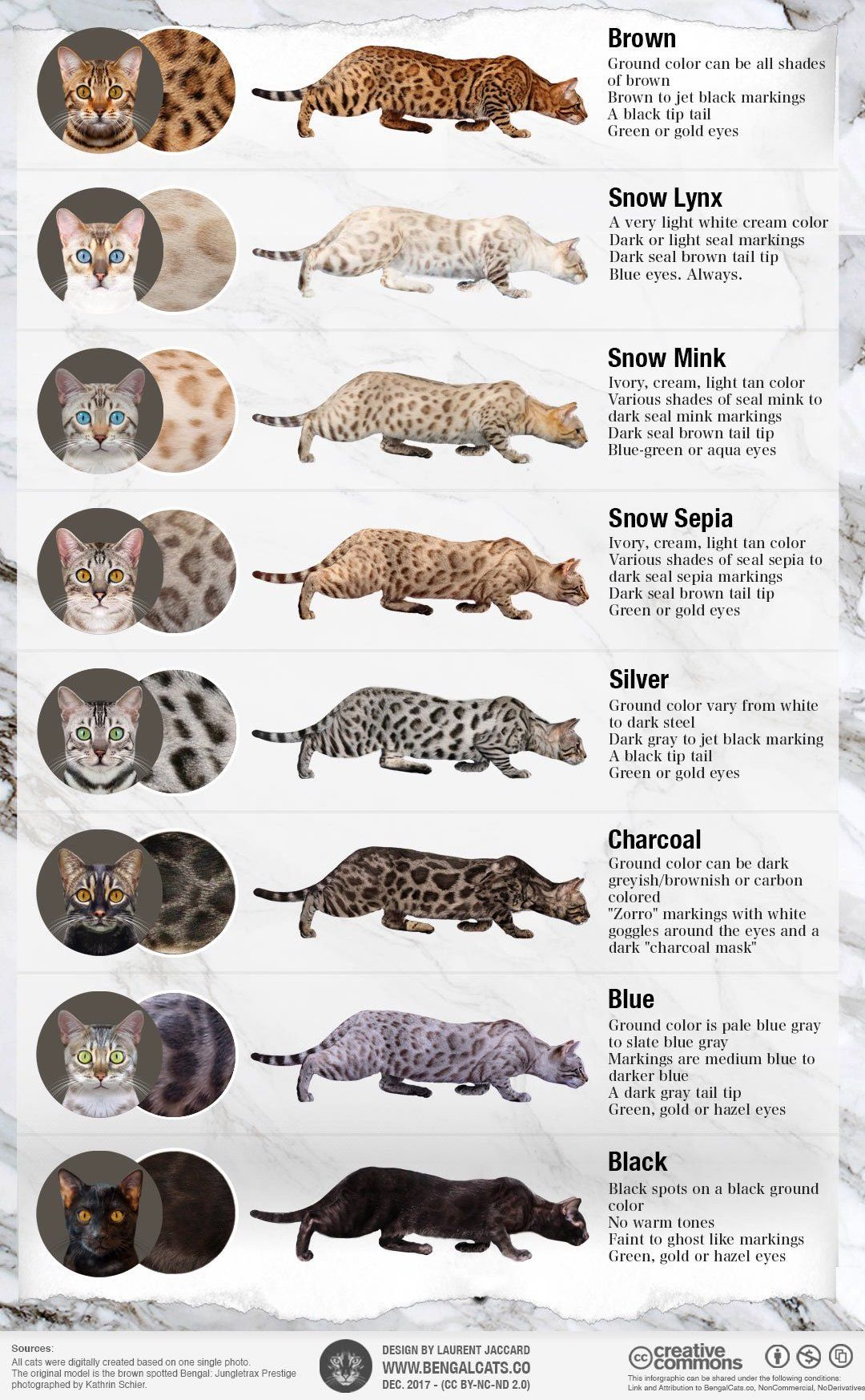 color bengal cat colors patterns coat infographic