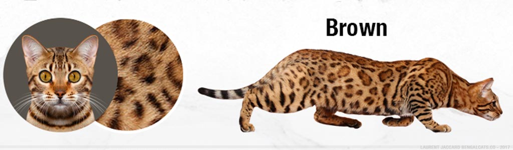 color brown bengal cats