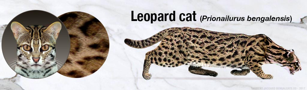 color leopard cat color pattern