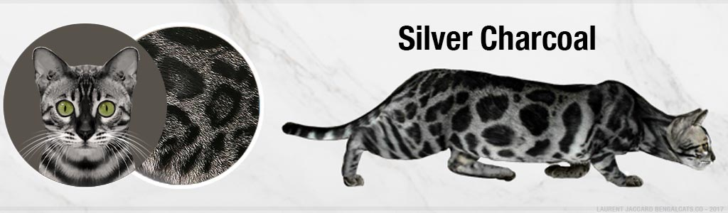 color silver charcoal bengal cats